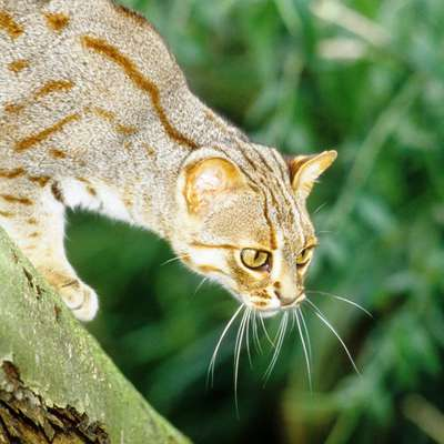 Rusty-spotted Cat Project